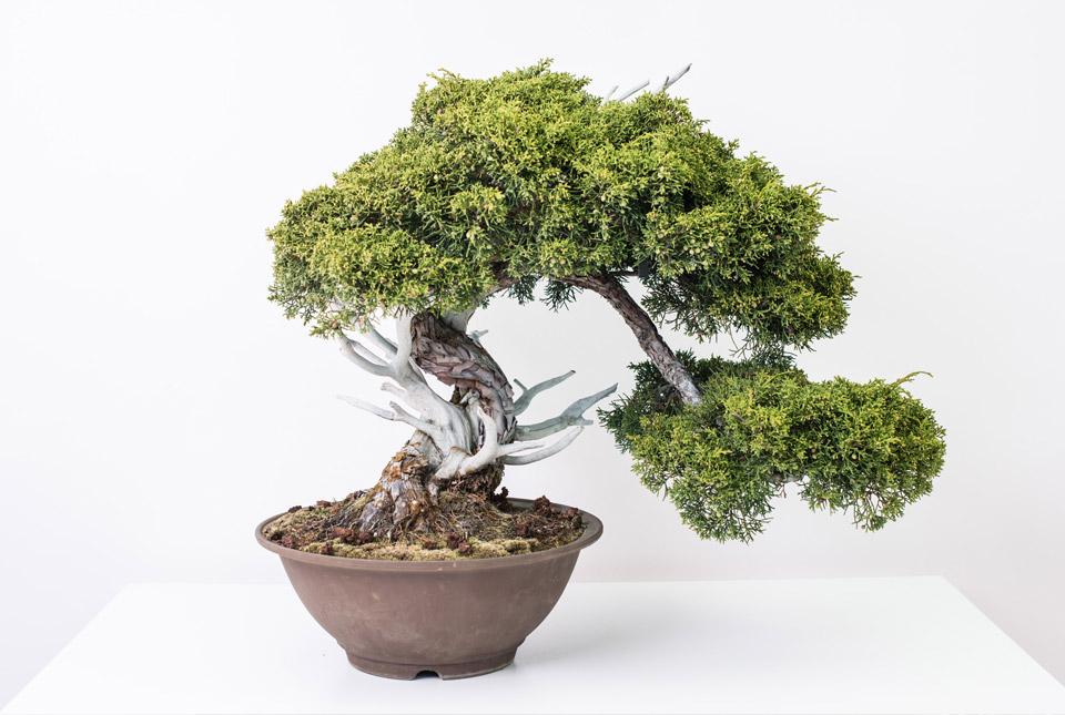 Exposici n centro profesional dedicado exclusivamente al - Tierra para bonsais ...