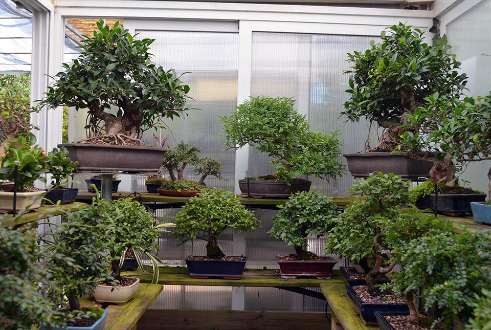Bonsai colmenar centro profesional dedicado for Bonsai de jardin